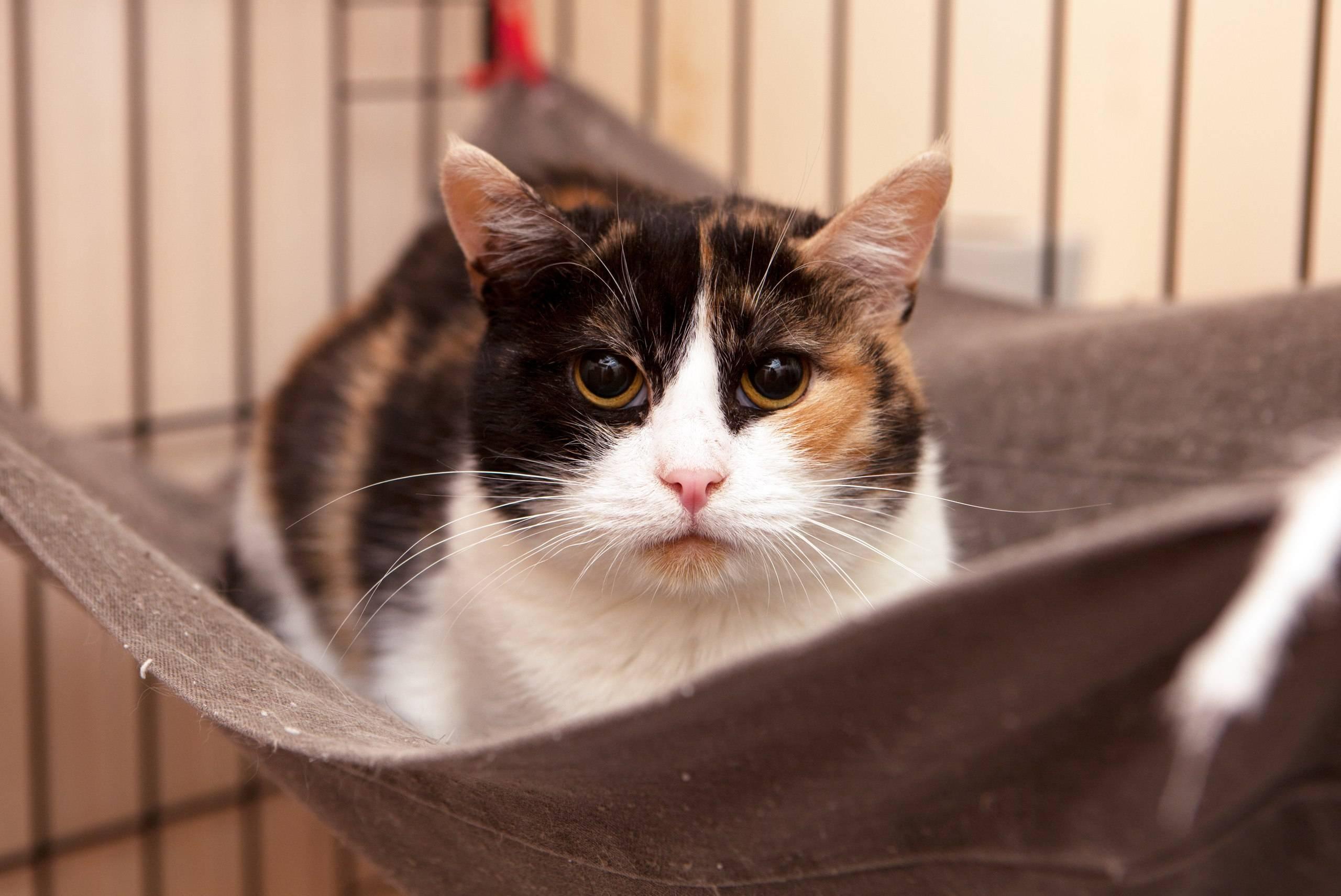 Приметы и суеверия о трёхцветных кошках