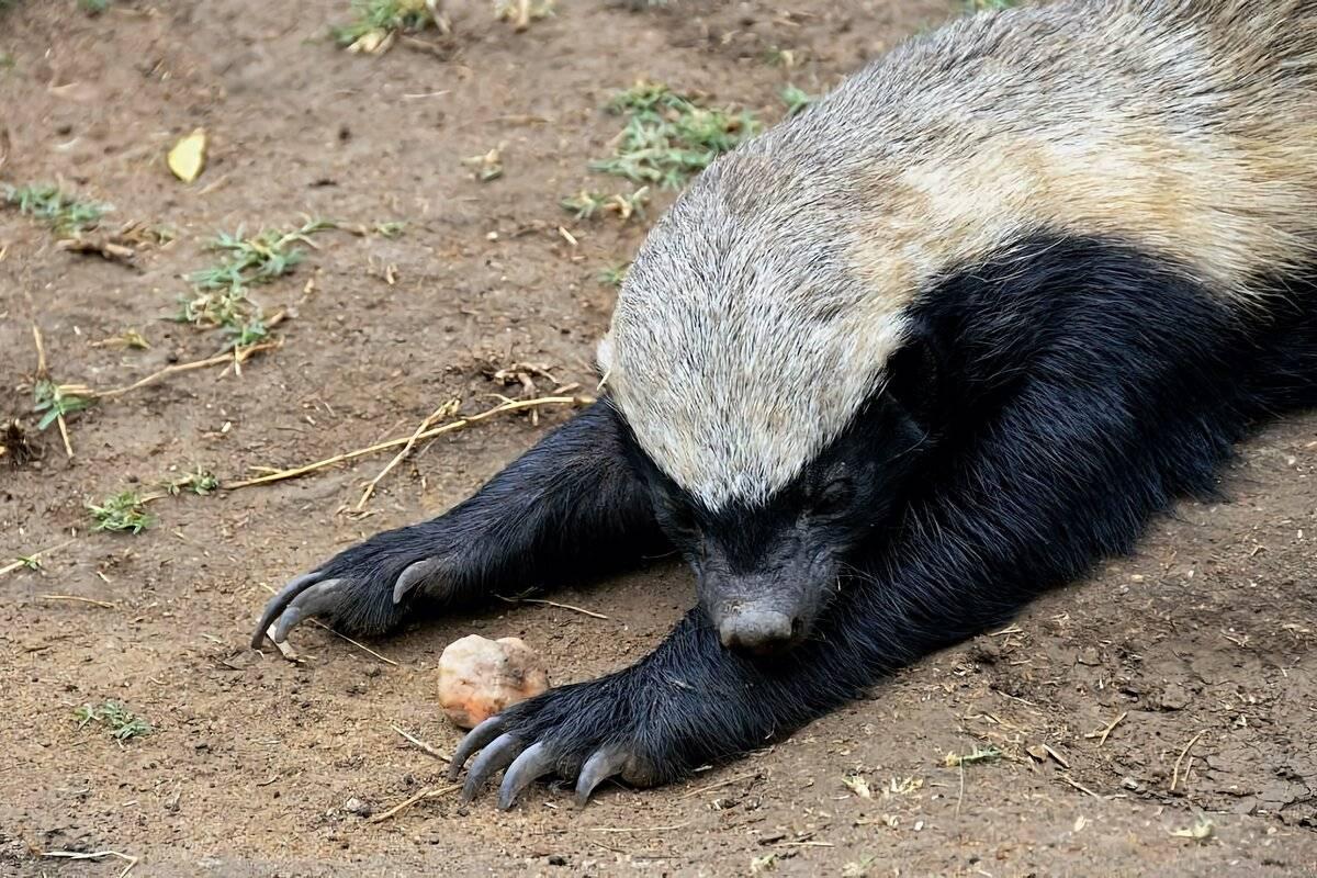 Росомаха. полное описание животного, размножение, где живет и образ жизни   все о животных
