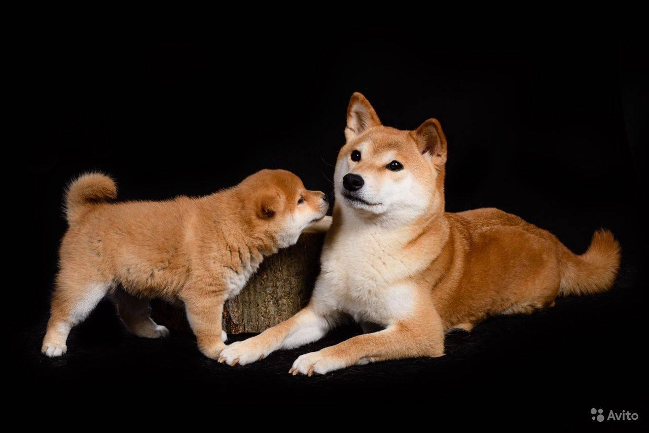 Сиба-ину: все о собаке, фото, описание породы, характер, цена