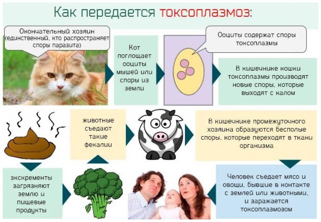 Как передается токсоплазмоз от человека к человеку, от кошки к беременной
