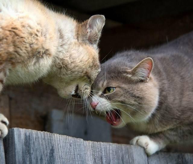 Как подружить двух взрослых кошек?