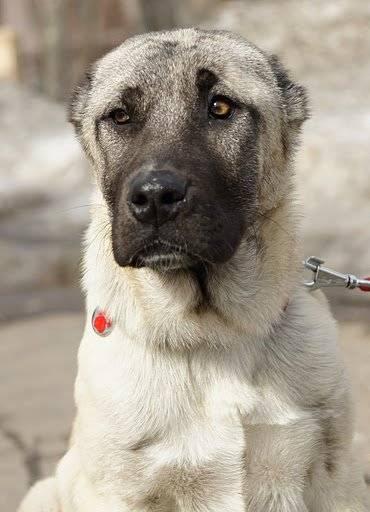 Турецкий кангал собака. описание, особенности, уход и цена турецкого кангала | животный мир