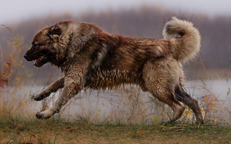Волкодав — фото, как выглядит