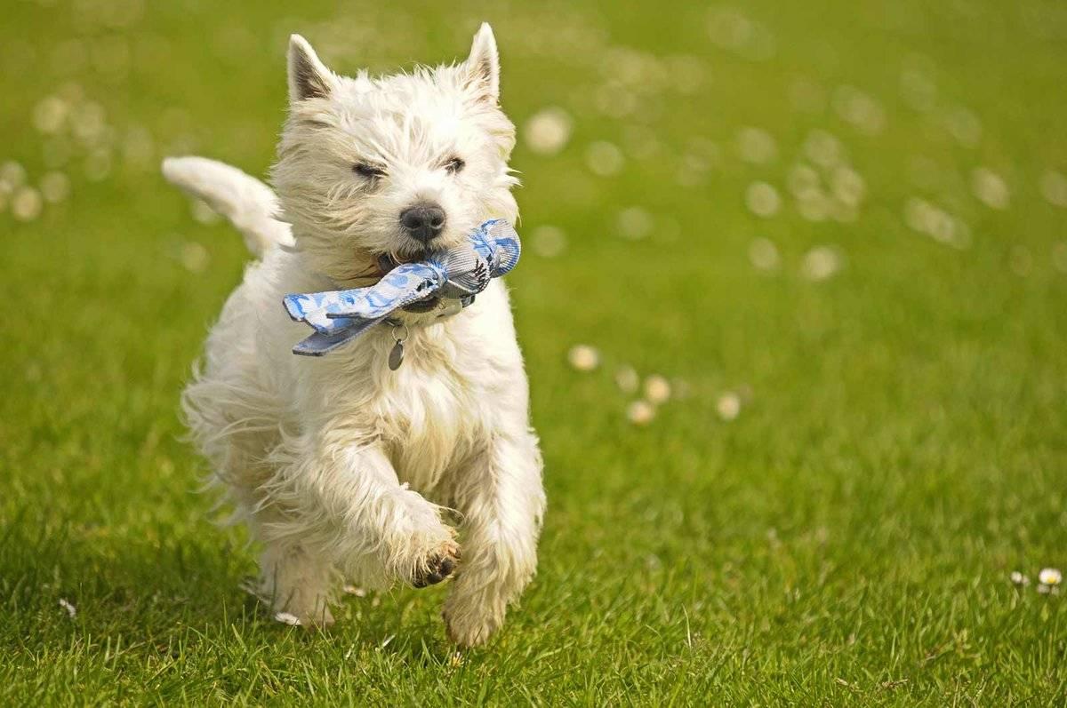 Вест-хайленд уайт терьер: описание, фото, характер, особенности ухода за породой собак