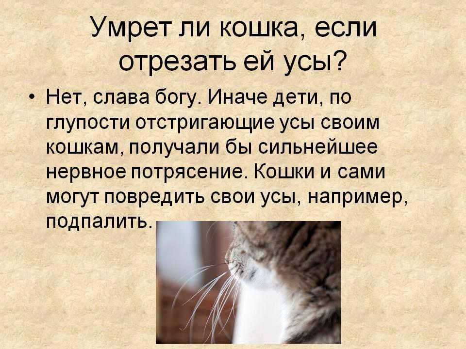 Почему котам нельзя стричь усы, что будет, если их подстричь, зачем они нужны кошке? - kotiko.ru
