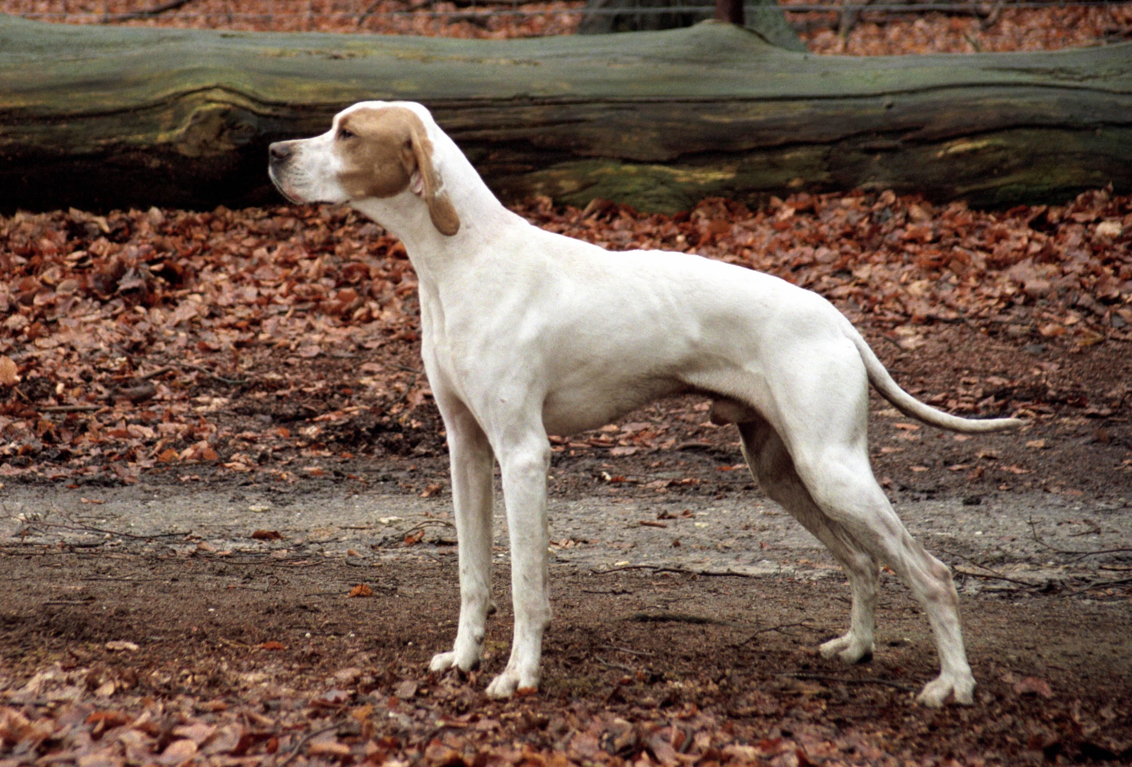 Порода собак пойнтер - описание породы, характер