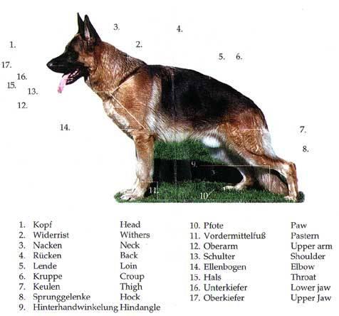 Описание и происхождение породы собак немецкая овчарка. характер и виды.