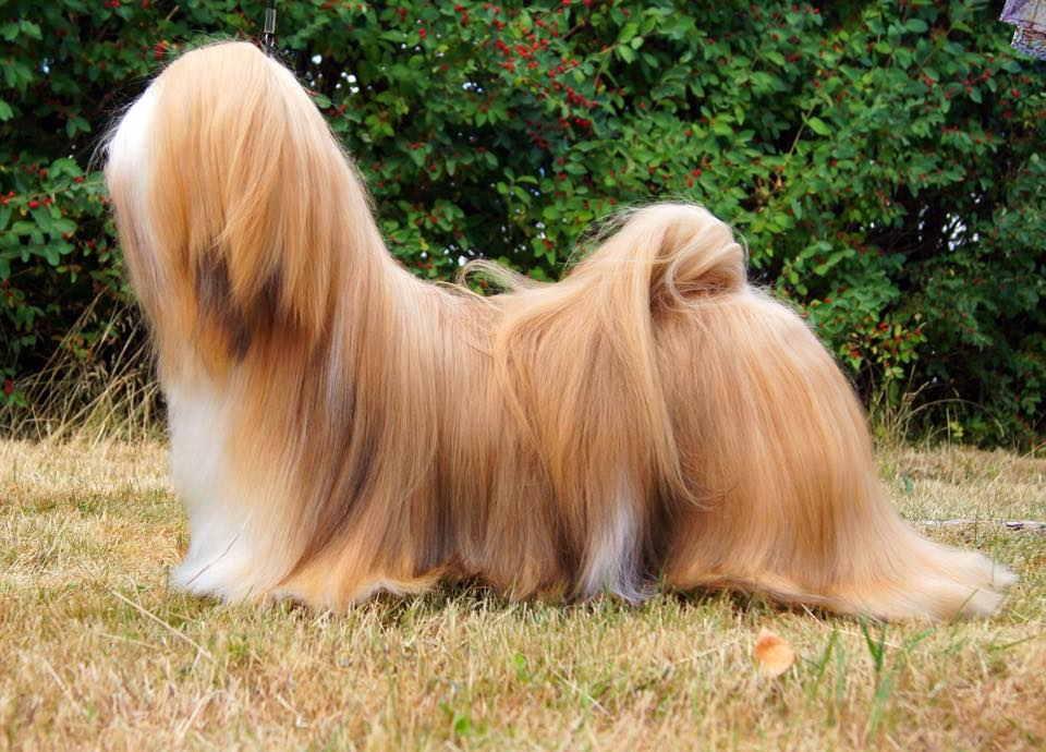 Лхаса апсо - порода собак - информация и особенностях | хиллс