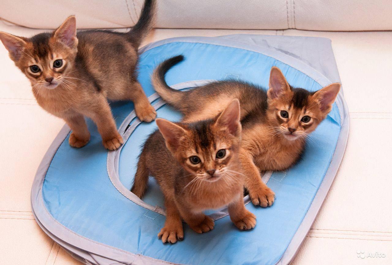Уход за абиссинским котенком: гигиена, содержание, кормление