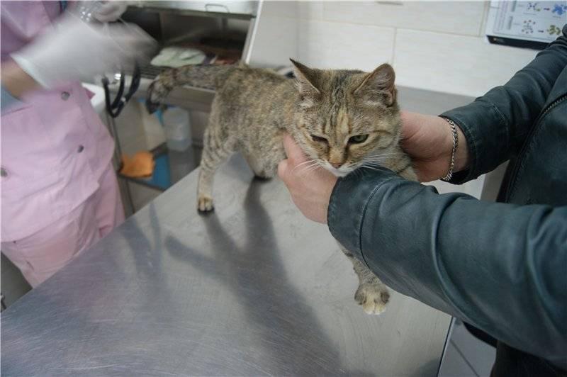 """Анемия у кошек - причины анемии у кошек, диагностика и лечение  в москве. ветеринарная клиника """"зоостатус"""""""