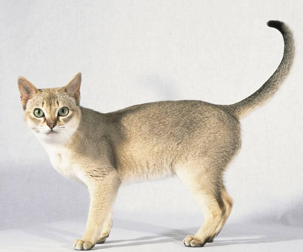 Сингапурские кошки и коты: описание, характер, отзывы (с фото и видео)