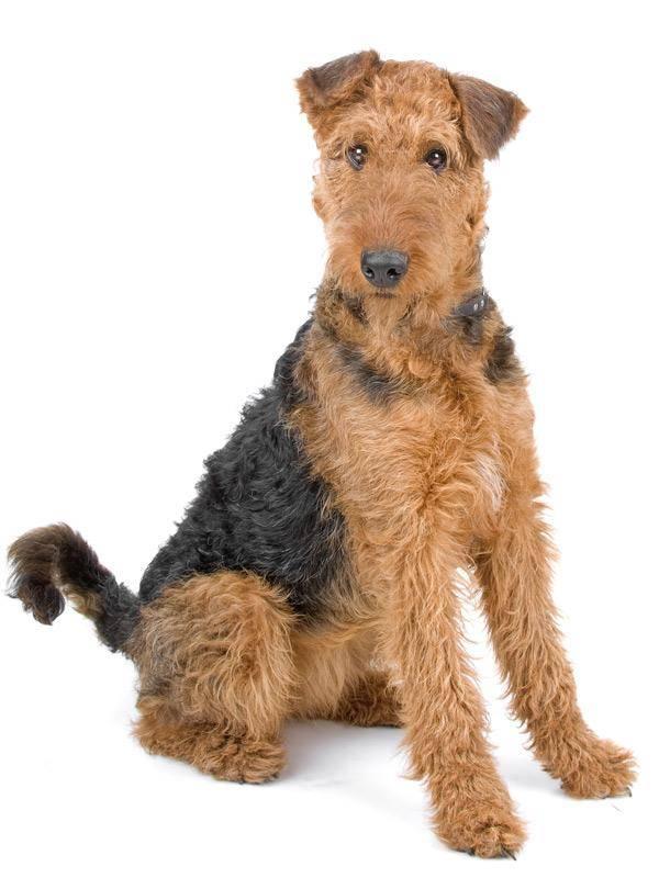 Эрдельтерьер: фото собаки, содержание и уход, характеристики
