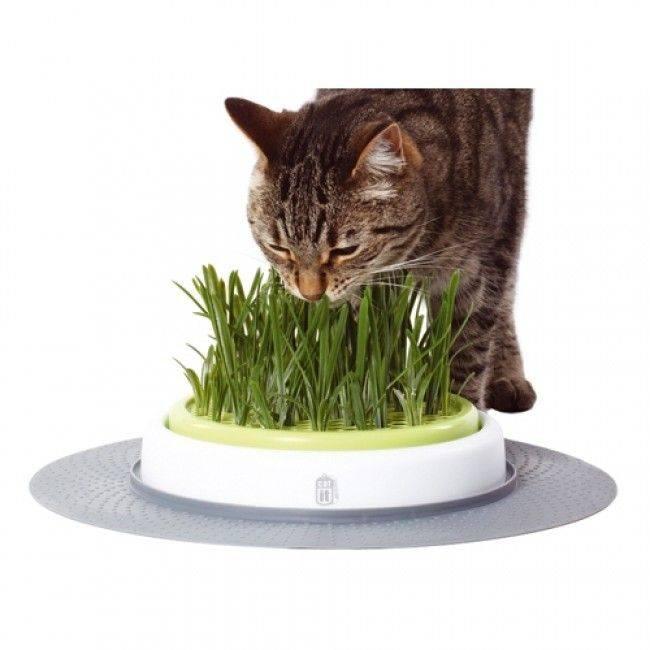 Трава для кошек: какая любимая, как посадить и вырастить