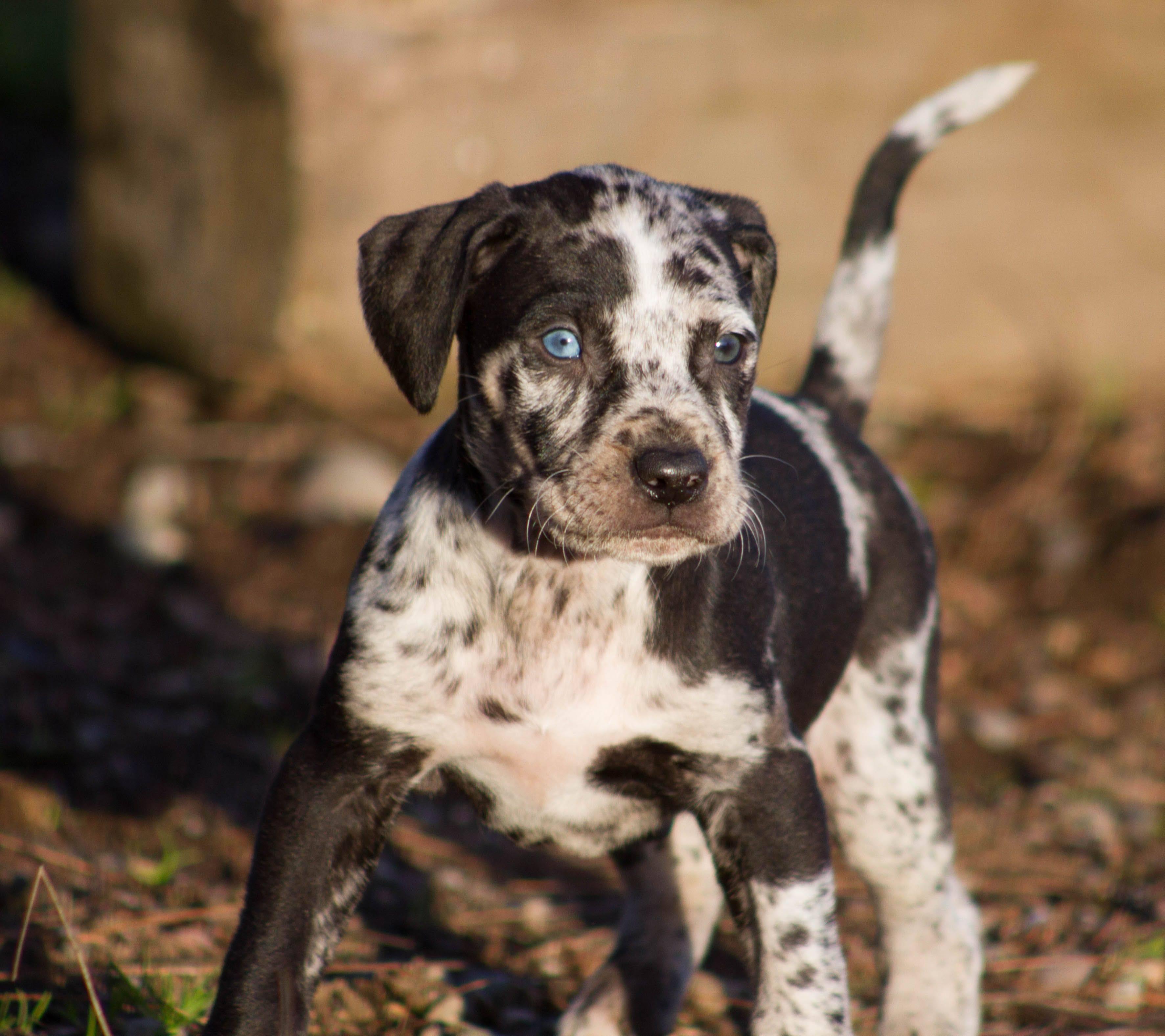 Азорская пастушья собака: фото, купить, видео, цена, содержание дома