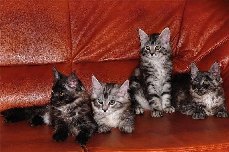 Кошка породы мейн-кун: описание особенностей и стандартов породы