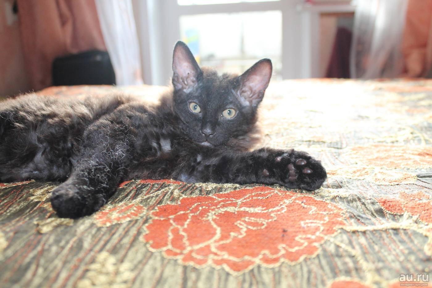 Котенок сфинкса помесь - зоо мир