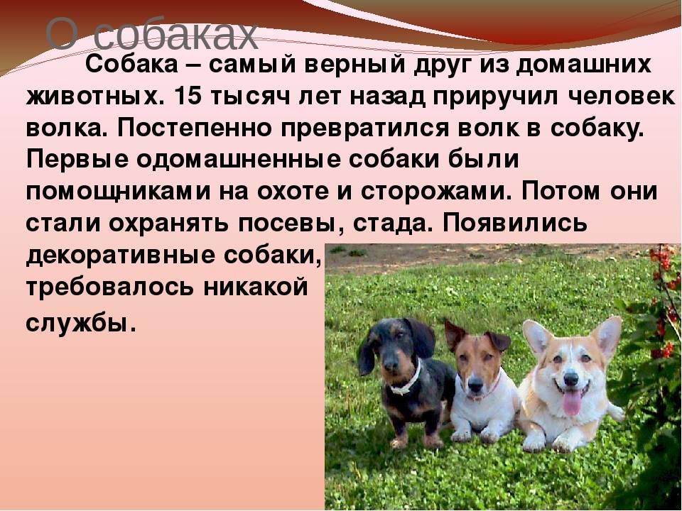 Ханаанская собака: фото, купить, видео, цена, содержание дома