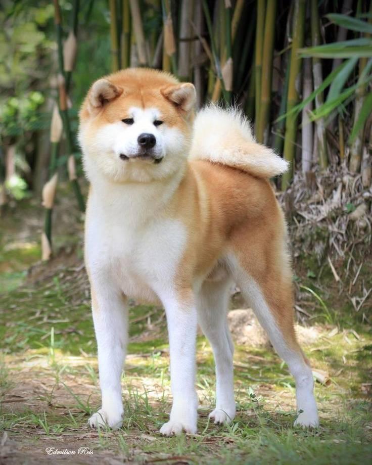 Порода собаки хатико — акита-ину, ее описание и история