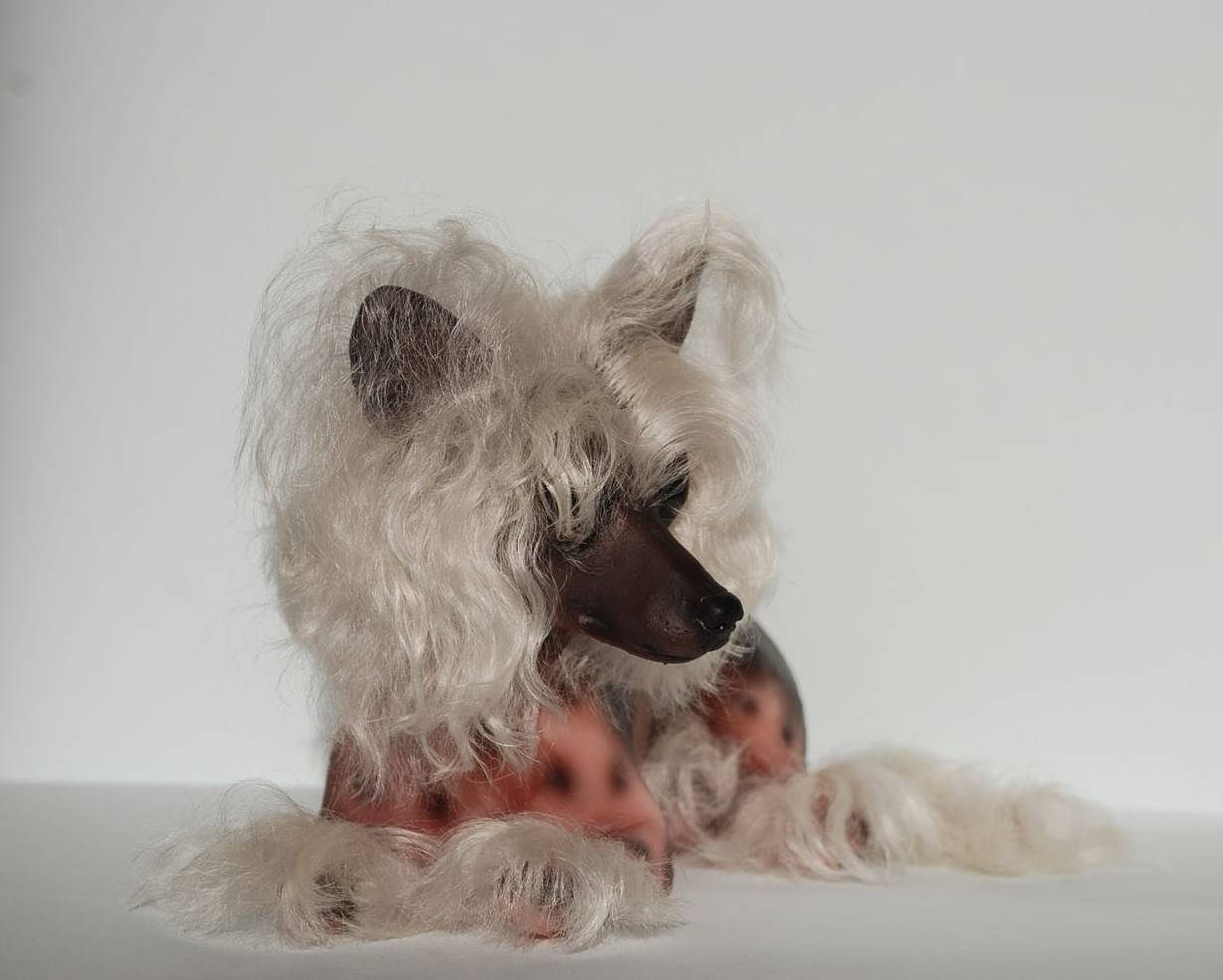 Китайская хохлатая собака – сколько живет животное, как правильно кормить, стричь и ухаживать за питомцем