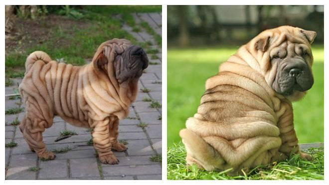 Собака со складками: морщинистая порода питомцев