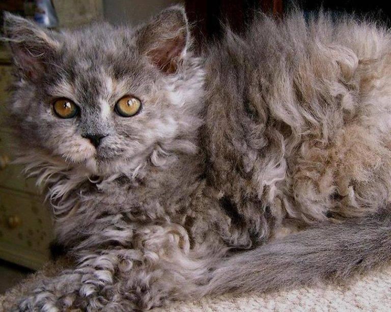 Кошка лаперм: описание и особенности породы