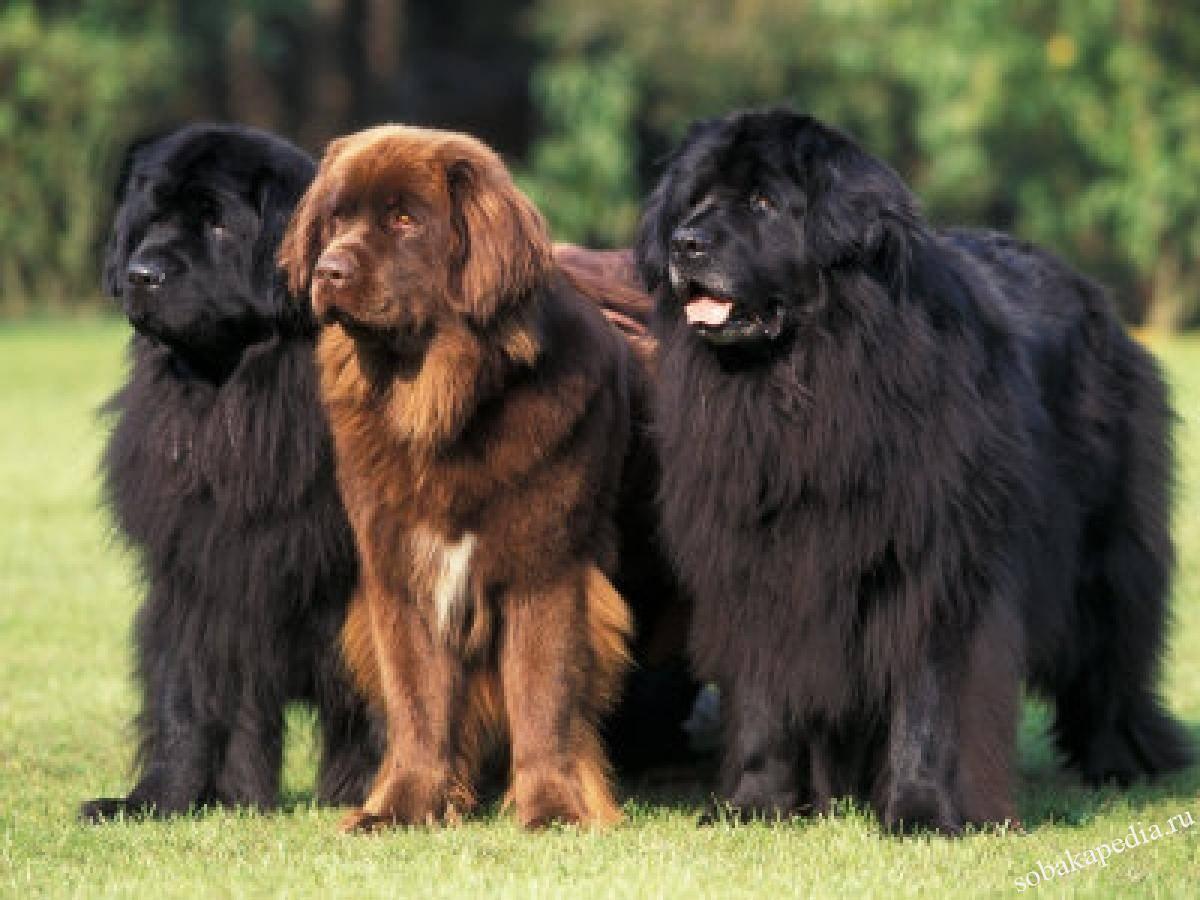 Порода собак ньюфаундленд или водолаз: описание, характер, цены на щенков.