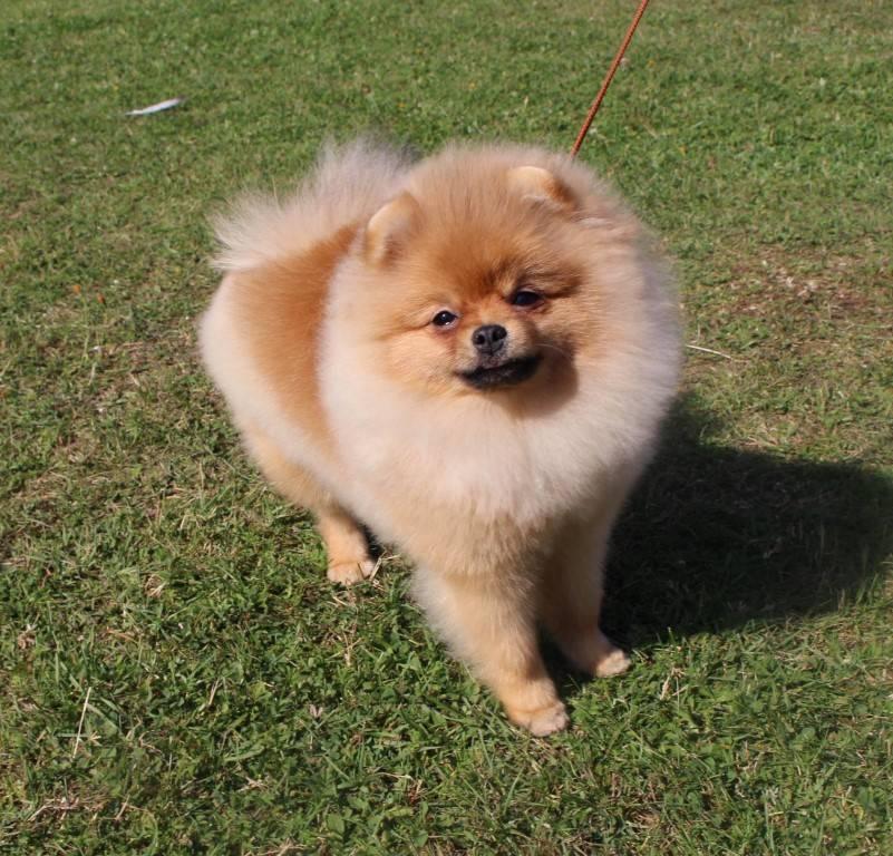Популярные и прикольные клички для собак-девочек маленьких пород: шпица, чихуахуа и терьеров