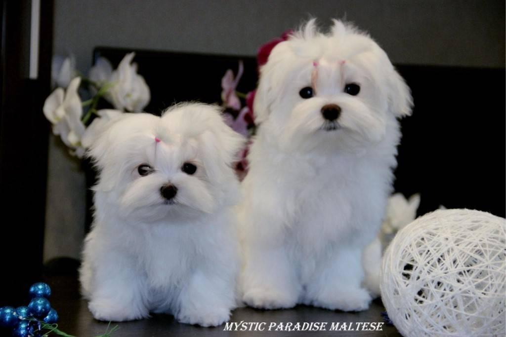 Мальтипу — фото, описание породы собак, особенности характера
