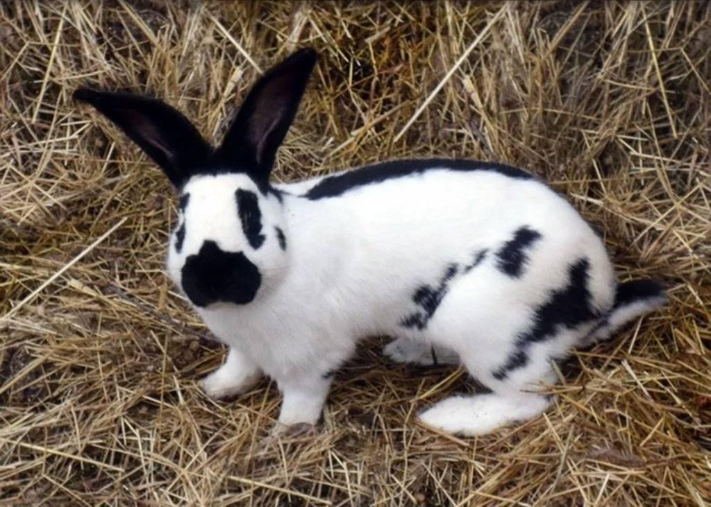 Кролик строкач — описание и характеристика породы немецкий пестрый великан