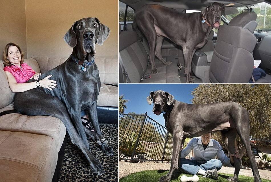 Самая большая собака в мире | какая порода, фото