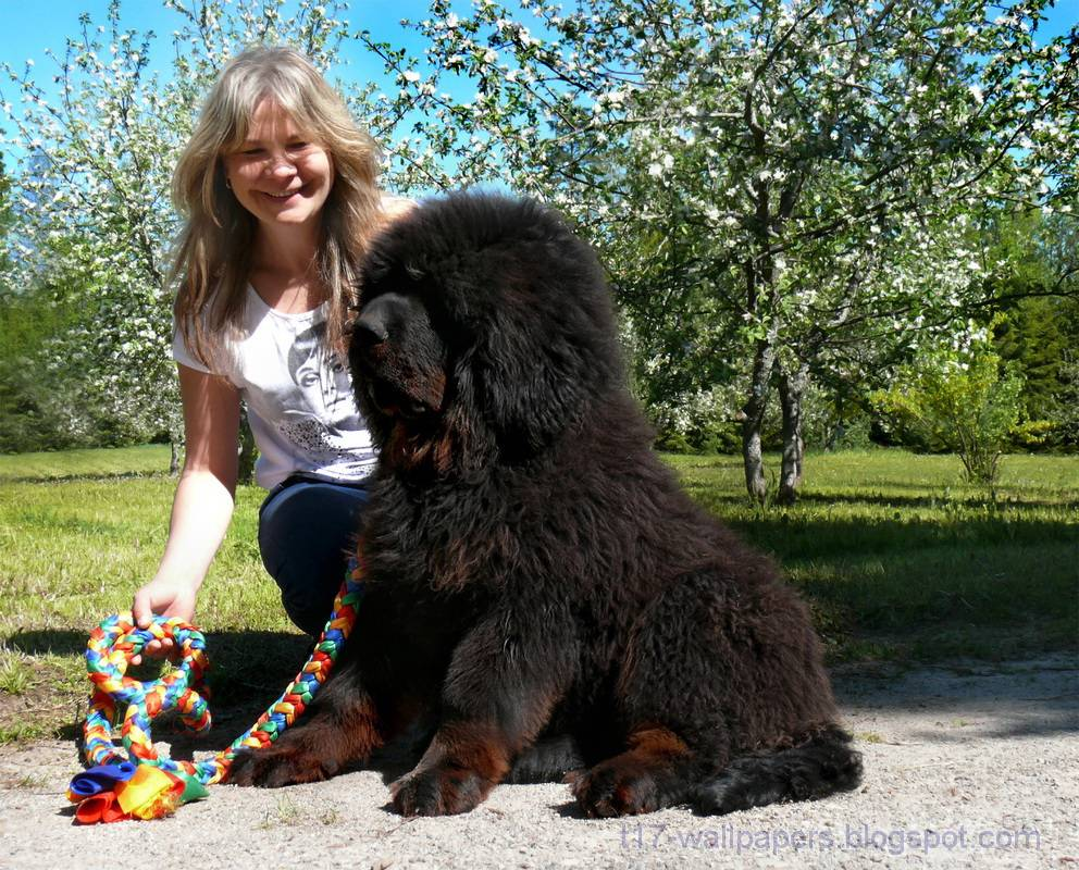 Тибетский мастиф - самая большая собака в мире, весящая до 112 кг, история породы и фото