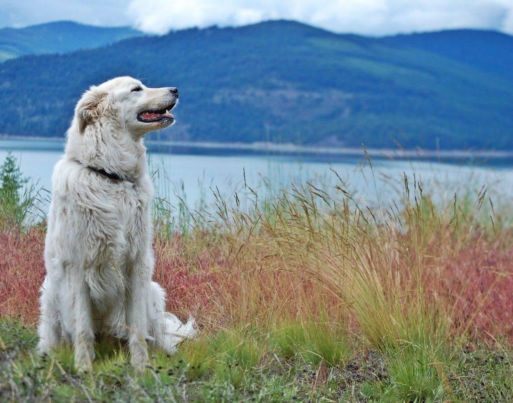 Маремма абруццкая овчарка: описание и фото породы мареммо