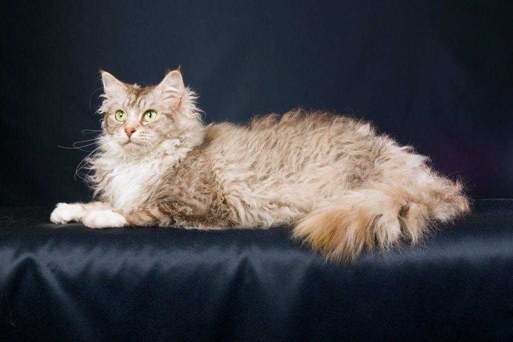 Ла-перм кошка: подробное описание, фото, купить, видео, цена, содержание дома