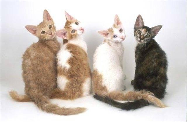Лаперм - кошка с завивкой. особенности породы, содержание и характер и питание кошки породы лаперм