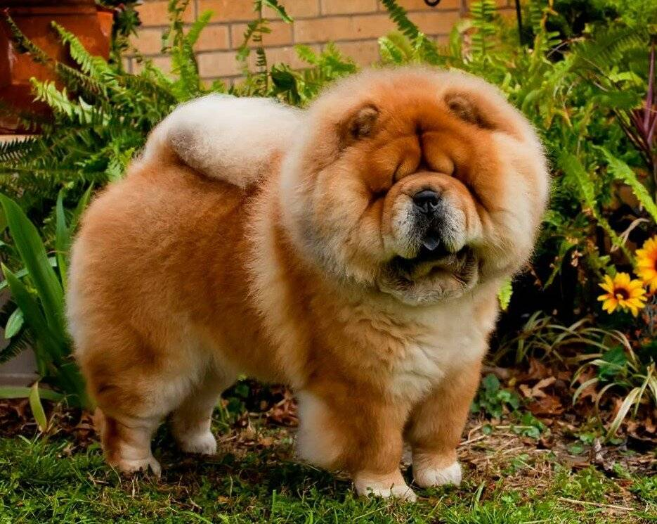 Собака породы чау-чау - советы по уходу и 60 фото породы
