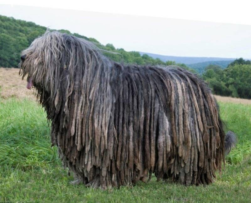 10 необычных пород собак, о которых мало кто слышал   gafki.ru   яндекс дзен