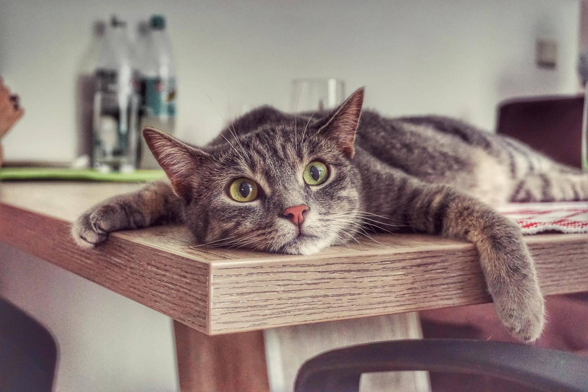 Как отучить кота лазить на стол и воровать еду: правила и секреты