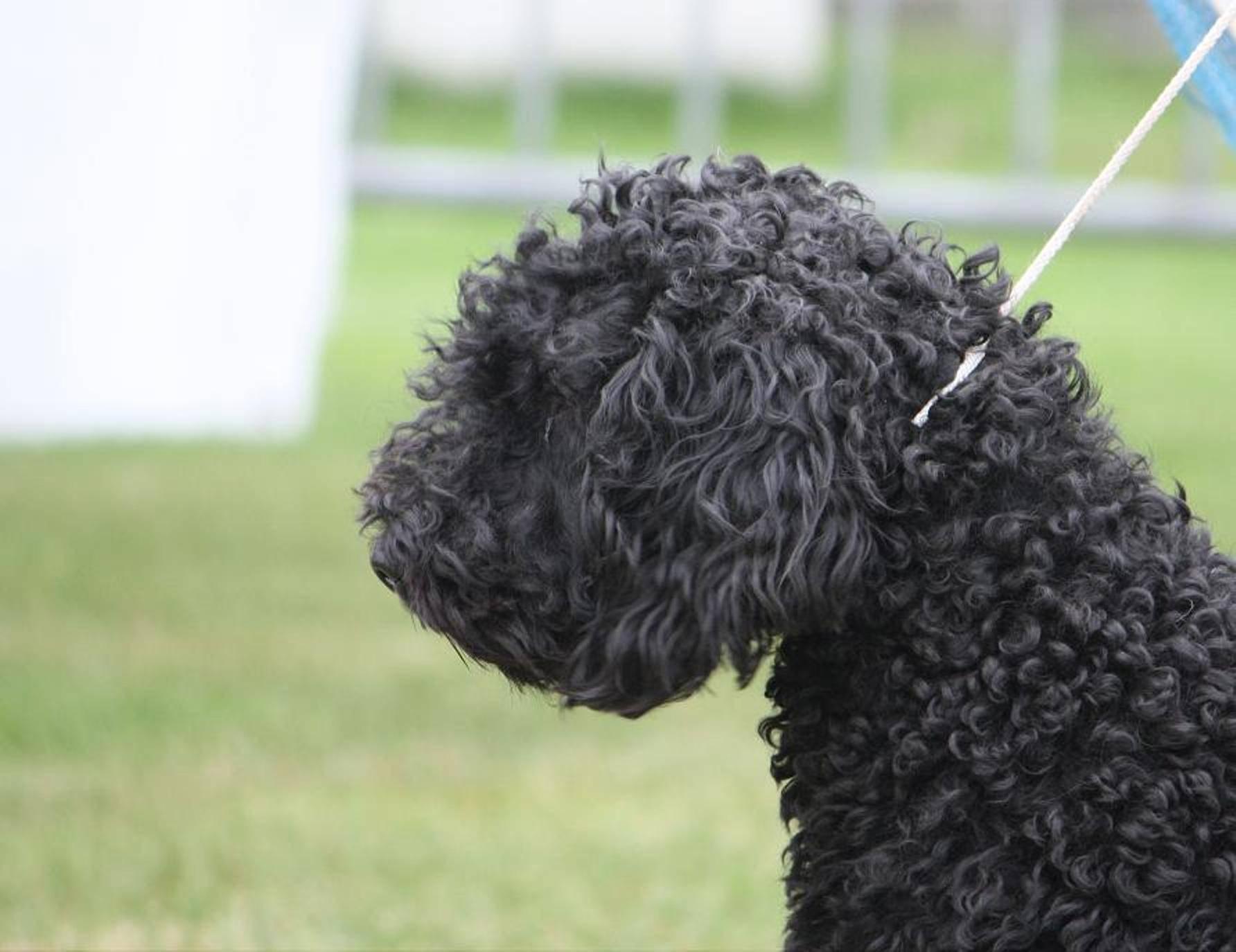 Португальская водяная собака: фото, описание породы, характера