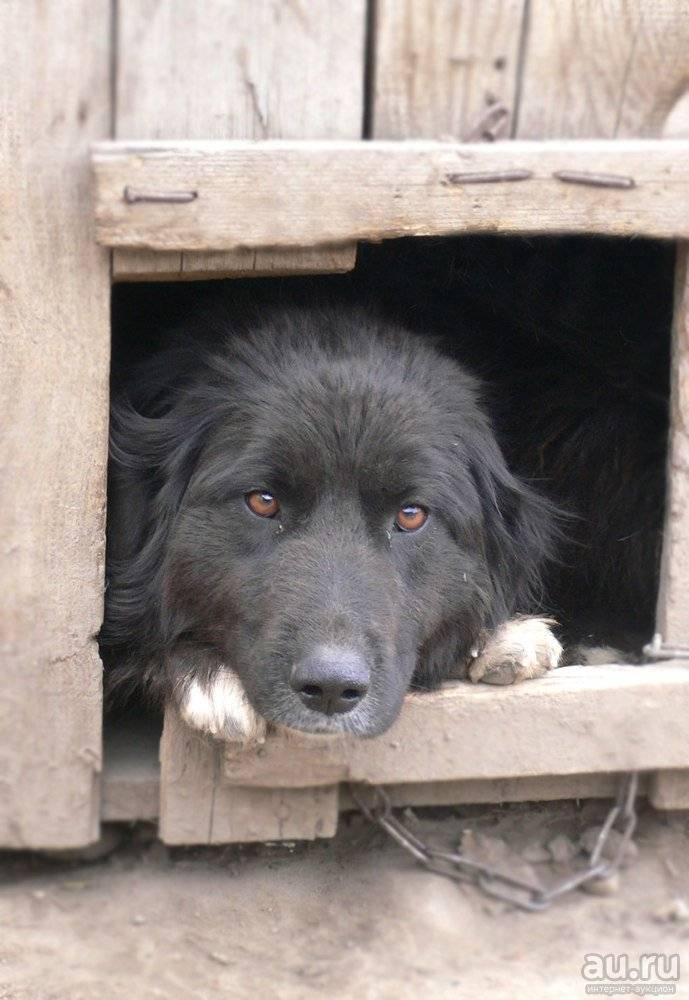 Ханаанская собака — внимательный охранник и преданный друг. история возникновения ханаанской собаки, уход за ней, интересные факты