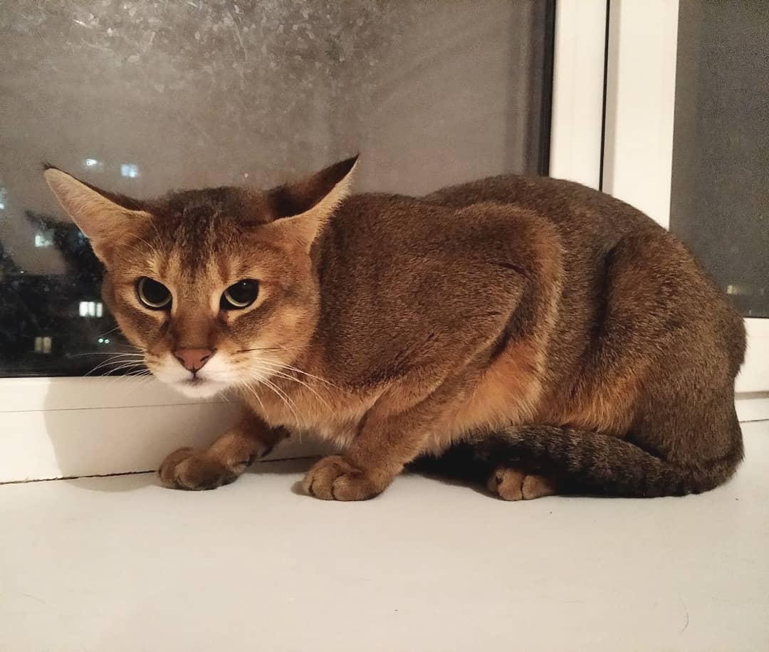 Чаузи: 115 фото, характер, описание окраса и особенности породистых кошек