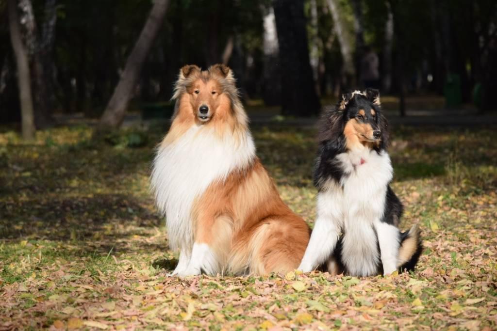 Собака шелти: история и описание породы и характеристика маленького колли, содержание и уход