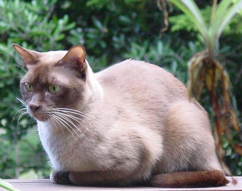 Породы кошек с фотографиями и названиями пород