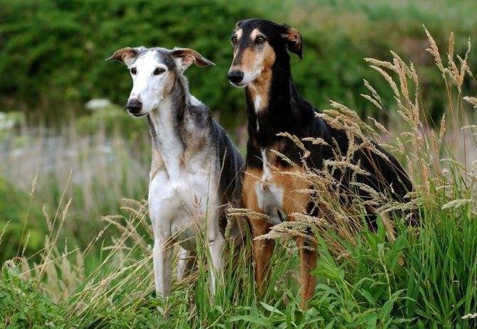 Хортая борзая (русская хортая): описание породы собак с фото и видео