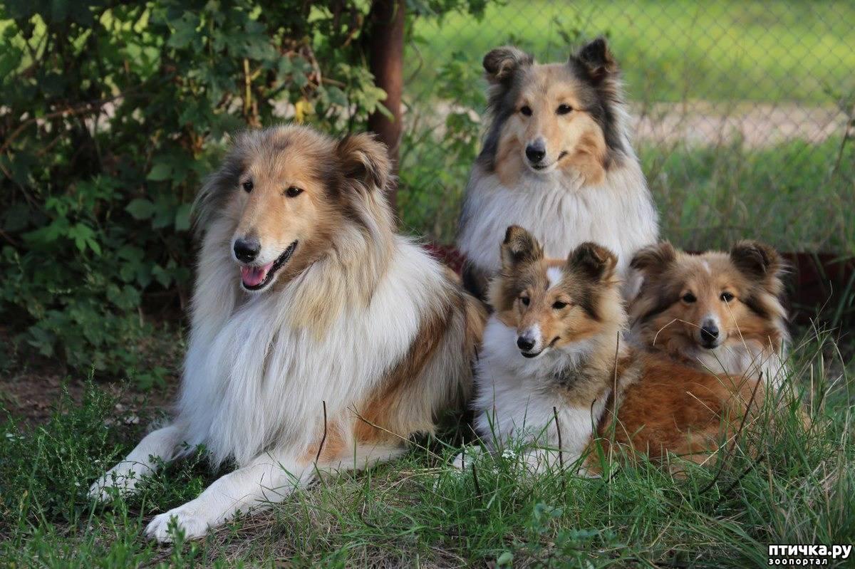 Шетландская овчарка (шелти) — собака-нянька