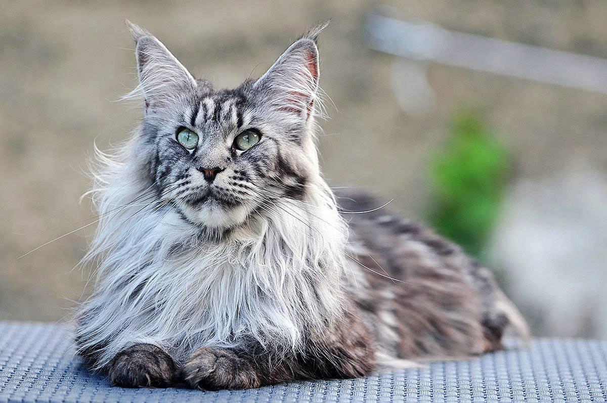 18 лучших пород кошек - рейтинг 2021