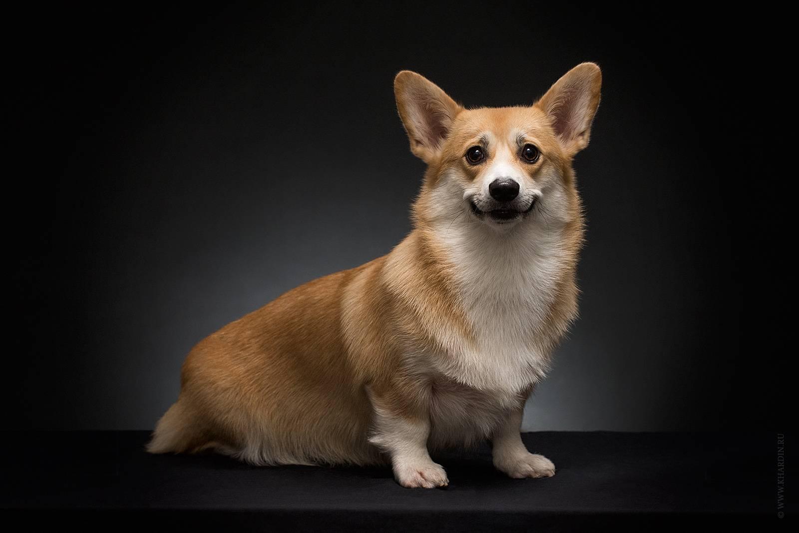 Вельш корги пемброк: описание породы собак