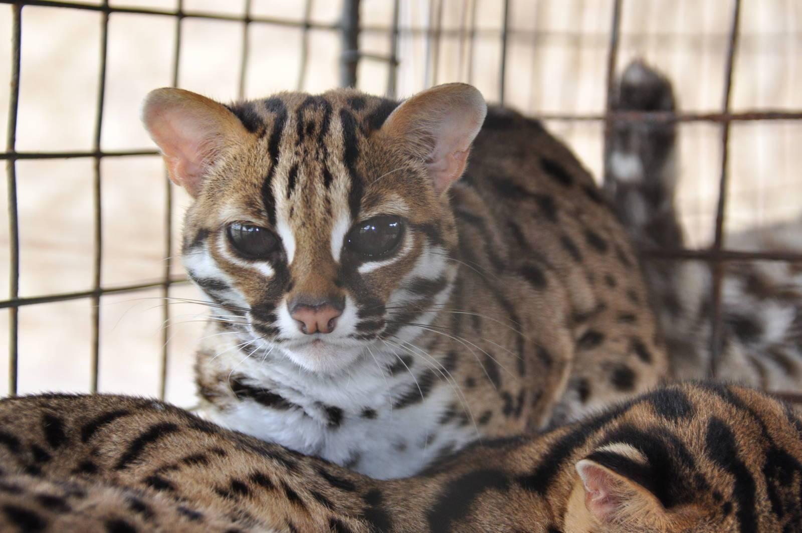 Азиатская кошка: описание породы