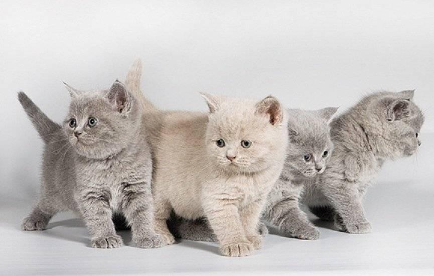 Британская кошка: фото, описание породы, характер, здоровье, уход и содержание