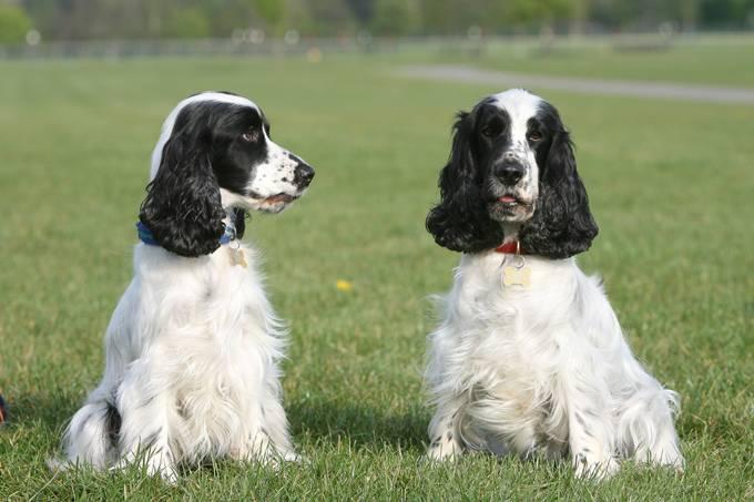 Описание породы «кокер-спаниель»: особенности характера собак и основы грамотного содержания + отзывы владельцев