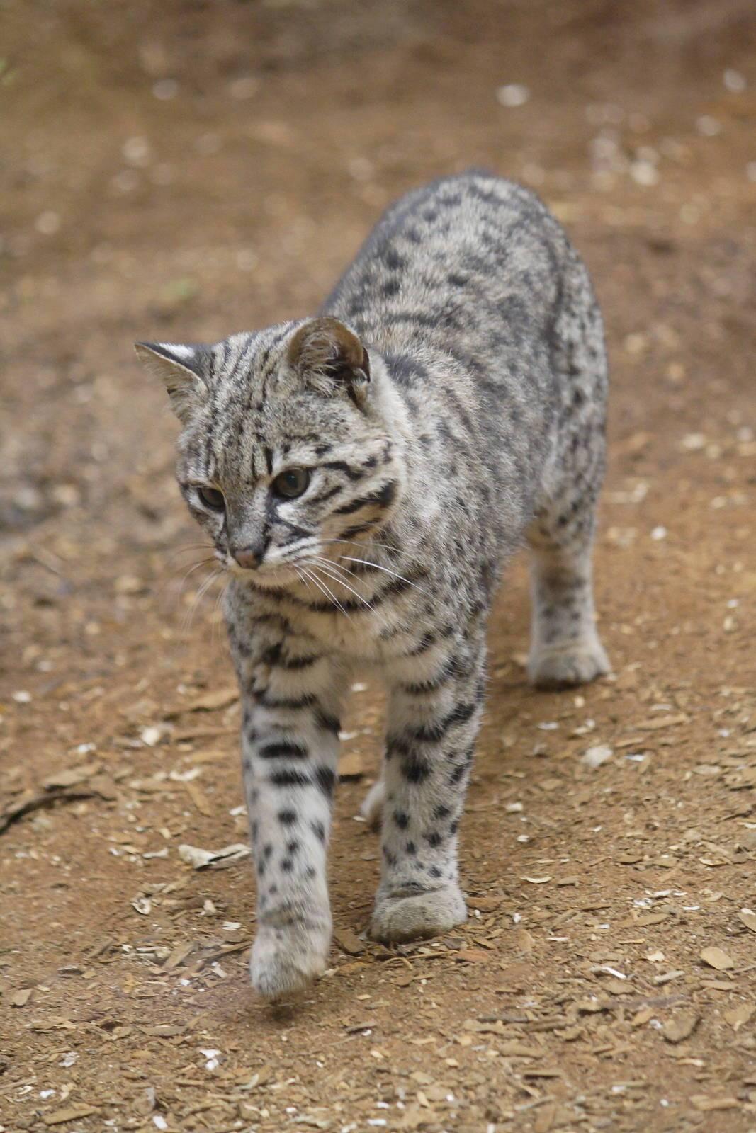 Сафари: описание породы кошек, уход, фото, цена